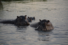 Hippo's (99point9) Tags: africa travel sunset sunlight color colour reflection nature water animal animals river grey nikon wildlife hippo botswana chobe hippos d5200
