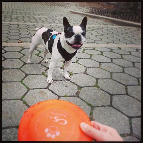 #Zoya #Frenchton #frisbeedog