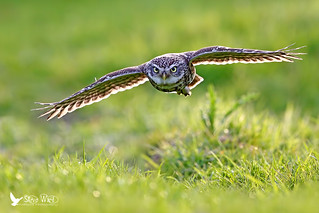 Coming Through .... Little Owl in flight