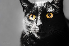 Jet (nywheels) Tags: pet animal cat blackcat nikon feline jet creative kitty selectivecolor d7100 nikond7100