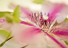 Clematis (nailia_schwarz) Tags: natur clematis blume