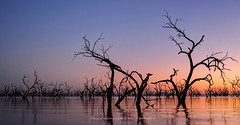 Lake Pamamaroo, NSW, Australia (Paula McManus) Tags: trees lake tree nature water silhouette sunrise landscape olympus newsouthwales outback deadtrees menindee lakepamamaroo paulamcmanus silhouettephotography outbacknewsouthwales deadtreesinwater lumix20mm17 olympusomd