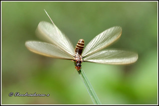 4290 - fluttering whitewinged flying ant ( ஈசல் )