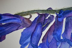 Vicia cracca - day 10 (espero85) Tags: by illustration watercolor painting botanical demo step vicia tutorial cracca
