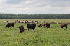 Heck Cattle and Konik Horses (riina503) Tags: latvia konikhorses heckcattle kemerinationalpark dundurimeadows
