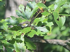 "Chestnut-sided Warbler in Sassafras • <a style=""font-size:0.8em;"" href=""http://www.flickr.com/photos/92887964@N02/14608903815/"" target=""_blank"">View on Flickr</a>"