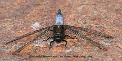 Black-tailed Skimmer_male_FENR 024b