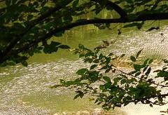 Frisson sur le Lez (isabelle bugeaud) Tags: lez montpellier frisson rivire agropolis branche arbre eau extrieur calme feuille
