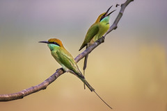 Green-bee Eater (sayem.ahmed49) Tags: birds bangladesh nature wildlife canon tamaron ngc