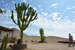 candelabra cactus landscaping (cam17) Tags: arica chile aricachile atacamadesert atacama candelabracactus cactuslandscaping