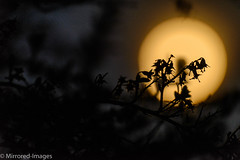 Full Moon Rising (Mirrored-Images) Tags: flora fullmoon garden hedgerow moon nature night outdoor sepia silhouettes