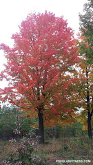 High Park - Red Fall Colours (Peter Kudlacz) Tags: highpark fall autumn tree toronto park