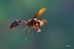 Work (baloxp1) Tags: wasp potterwasp nature insect fly flying smallworld