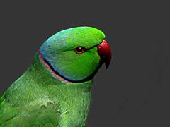 DSCN0120 Green Parrot (tsuping.liu) Tags: outdoor organicpatttern blackbackground birds ecology nature natureselegantshots naturesfinest green