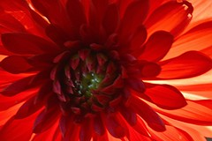 "Macro Monday ""backlit"" Explore (snappyslug) Tags: macromonday macro nikon flower dahlia plant petal bright texture pattern"