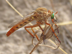 Diogmites sp. (tigerbeatlefreak) Tags: diogmites insect robber fly diptera asilidae nebraska