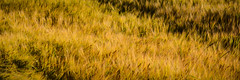 Barley field near Burghead, Scotland (vonHabsburg) Tags: scotland schottland cornfield kornfeld weizenfeld gerstenfeld barley barleyfield field feld ähren