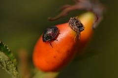 Insecto sobre escaramujo (esta_ahi) Tags: santmartsarroca barcelona spain espaa  heteroptera insectos fauna escaramujos frutos rosal silvestre rosa micrantha rosamicrantha rosaceae flora peneds