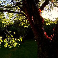 Blood-red Bark (Nanny Bean) Tags: prunusserrula tibetancherry bloodred bark leaves trees