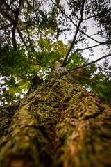 """...be a tree..."" (grahamrobb888) Tags: nikond800 sigma20mmf18 birnam tighnabeithe perthshire scotland autumn garden tree bark"