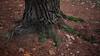 OPC 061115 038 (Jusotil_1943) Tags: opc061115 tronco pino agujas