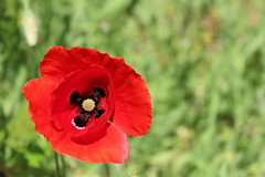 amapola (cienfuegos84) Tags: naturaleza amapola flower flowers red rojo nature