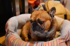 Little Monkey (art w.) Tags: frenchy frenchbulldog bulldogs bulldog frenchies frenchbulldogs