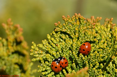 Le trio de coccinelles (TICHAT10) Tags: animaux champagneardenne france insectes coccinelles rouge alsacechampagneardennelorraine alittlebeauty coth coth5 fabuleuse