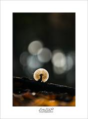 in the spotlight (Zino2009 (bob van den berg)) Tags: mushroom paddo paddestoel porceleinzwam tak ground floor forest color autumn light bokeh circles tood sunlight spotlight sunny fall hollandherfst herbst najaar frame name zino2009 bobvandenberg