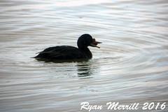 Common Scoter (rjm284) Tags: birds birding or oregon rjm284 cosc male commonscoter siletzbay lincolncounty