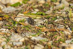 Grasshopper sp 1DX12654.jpg (alanmcbride1) Tags: cricket france occitanie aude languedoc grasshopper rocdeconhilac insectsinsect gruissan
