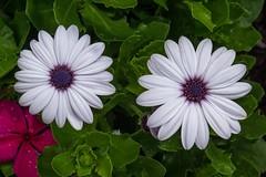 Botanic Garden, Denver (pmenge) Tags: denver botanicgarden flores flowers 18135 xt2