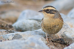 Siberian Accentor - Holy Island, Northumberland (Gary Woodburn) Tags: siberian accentor holy island northumberland canon 7d