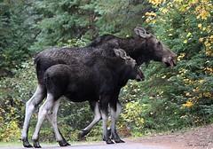 Moose Cow and Calf (Sue D Sharpe) Tags: moose cow calf autumn algonquinpark ontario
