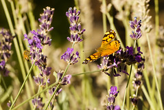 Bee & Butterfly (Karen McQuilkin) Tags: beebutterfly october nature karenmcquilkin lavender utah yard