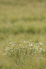 Kamille im Gerstenfeld (christine_kuchem) Tags: kamille teepflanze kruter gerstenfeld gerste getreidefeld getreide landwirtschaft agrarlandschaft kruter