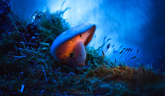 Murmure de sous bois (Fontaine Loic - photographie) Tags: macro mushroom fungi pilz champignon forest light «lightpainting» nature botanic colorful view trees wall wide wood wild traditional panoramic sky texture rain image misty color fall leaves scene glowing «glowingmushroom» canon tamron 6d