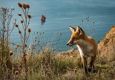 Fox at Alum Bay, Isle of Wight (Elm Studio) Tags: copyright copyrighted jeffmorgan elmstudio jeffelmstudiocom wwwelmstudiocom 4407542933700 isleofwight morgan nature alumbay gb england solent uk totland freshwater fox sea cliff water boat yacht evening gbr