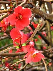 Flowering quince (AMoska) Tags: natureza nature flora flores flowers marmeleiro japo japan quince chaenomeles colour lines
