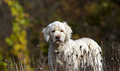 Loyal Companion (sarasonntag) Tags: dog companion goldendoodle bailey boy male loyal wisconsin home wagging tail white outdoor