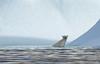 Polar Bear   Baffin Island (dr brewbottle) Tags: bear polarbear baffinisland arctic ice iceberg