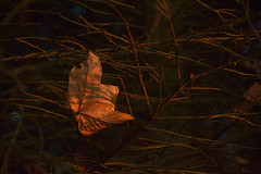 DSC_7037 (Karel Suchnek) Tags: evening sunset dry leafs late autumn firstfrost
