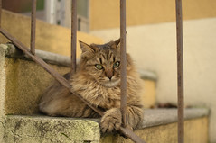 Peperino 6 mesi (Lorenzo Canestrari) Tags: gatto cat cats animalidomestici animali animals kitten chat gato pet kitty feline katze pepe peperino