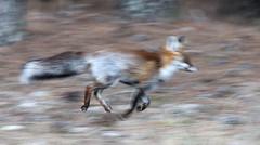 Zorro a la carrera (vic_206) Tags: zorro fox canoneos7d canon300f4liscanon14xii movimiento carrera running