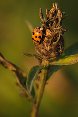 Repos en altitude (regisfiacre) Tags: insecte insect bugs ladybug coccinelle asiatique harmonia axyridis macro canon 100mm prairie meadow