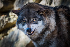 angry wolf (Bodyl) Tags: alpenzoo tirol europa innsbruck sugetier tier wolf raubtiere sterreich animal canislupus carnivora europe gray graywolf zoo mammal at