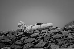 Slept like a log (sam_hodges) Tags: wood sleep log beach snooze black white sam hodges canon 7d france driftwood