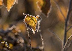 frosted leaves 1000-3 (travelingjournalist) Tags: autumn brown frost frostedleaves frostyautumnleaves frostycoatingtravellingjournalist frostyleaves ice jackfrost leaf orange red