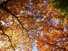 Autumn trees (EvelienNL) Tags: autumn fall herfst tree trees leafs leaves colourful coloured bright sunny sunshine sunlight boom bomen bladeren herfstbladeren herfstkleuren herfstblad zonlicht zonnig yellow orange geel gele oranje branches oak northernoak redoak championoak quercusrubra eik amerikaanseeik sooc
