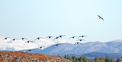 Winter wings (Arnt Kvinnesland) Tags: peregrine greylaggoose geese falcon landscape birds birdsinflight winter november outdoor grgs gjess vandrefalk landskap gale tjstheim karmy vinter hst norway